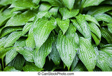 Green leaves of hosta with rain drops
