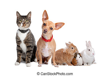 European shorthaired cat, chihuahua dog, rabbits and a Guinea Pig isolated on a white background
