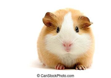 guinea pig closeup shot over white