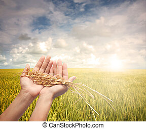 hand holding harvested paddy during early morning field
