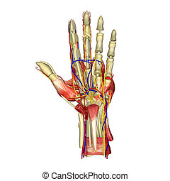 The hand is an intricately complex structure whose muscles have evolved to permit an unequalled array of movements. More than 30 individual muscles in the hand and forearm work together to achieve these diverse movements.