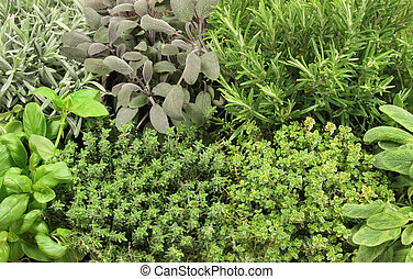 Organic growing herb selection, lavender, purple sage, rosemary, basil, common thyme, golden thyme and variegated sage