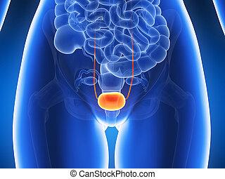 3d rendered illustration - bladder