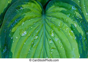 Hosta plant leaf