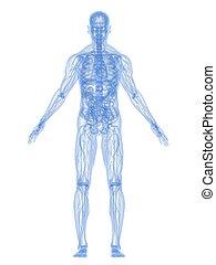 3d rendered illustration of a transparent human body
