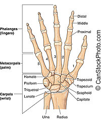 Human hand bones, labeled