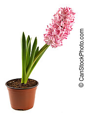 Hyacinth-decorative indoor plant in a flowerpot on white background