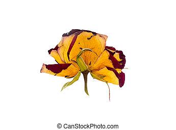 dried rosebud on white background