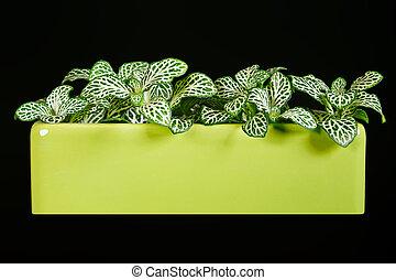 Indoor plant Fittonia.