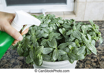 Female hand spraying water on indoor house plant