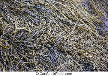 a pile of seaweed on the ocean floor in atlantic canada