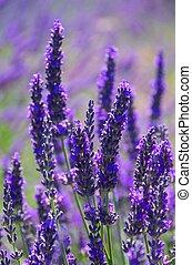 lavender 81