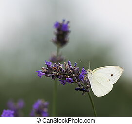 Lavender flowers and White butterfly