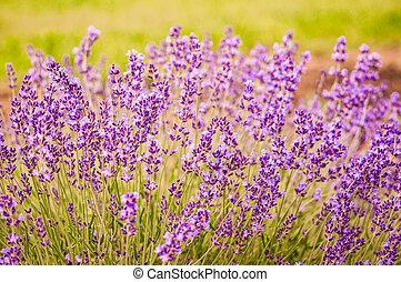 Lavender flowers blooming in field
