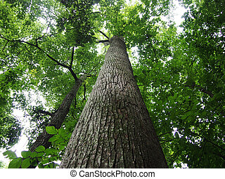 Looking up at tall trees in forest