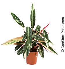 Lush, shiny indoor plant Stromanthe, studio isolated on white background.