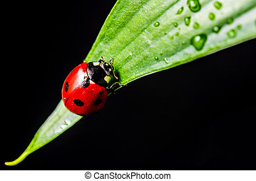 macro shot of a lady bug on a leaf, with black background