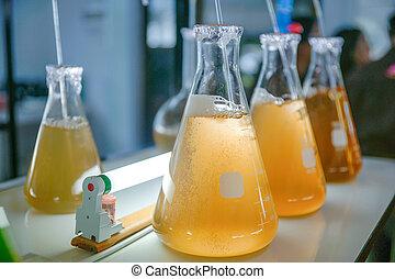 Marine plankton culture in glassware laboratory.