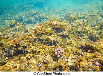 Mediterranean underwater fishes in reef