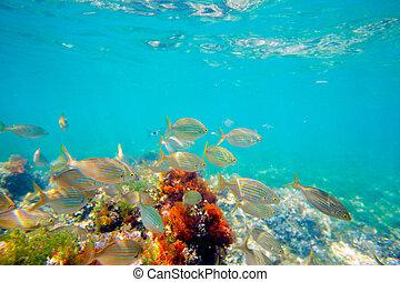 Mediterranean underwater with salema fish school
