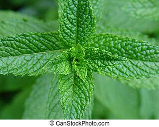 Fresh green mint plant close-up