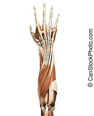 muscle anatomy - the arm muscles