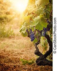 Vineyard in autumn harvest