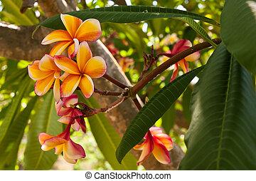 Orange plumeria flowers on the tree