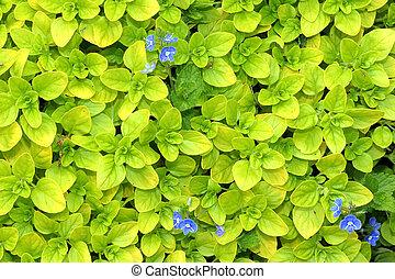 Fresh growing herb oregano with blue flowers.