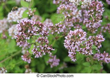 flowering oregano (Origanum vulgare) in the herb patch