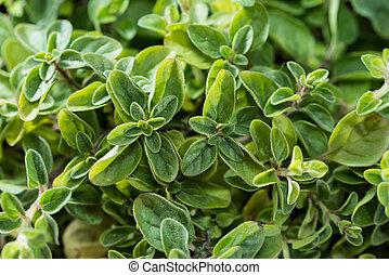 Small Oregano Plant (detailed high resolution close-up shot)