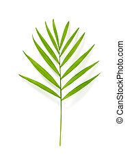 Parlor palm leaf isolated on white background