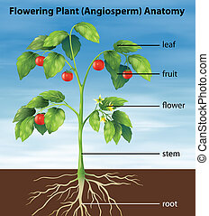 Parts of a tomato plant