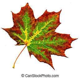 Perfect autumnal maple leaf
