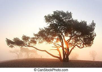 Pine-tree at sunrise