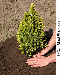 Planting young green spruce seedling in garden