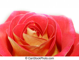 Post Card Of A Rose Flower
