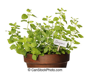 Potted Oregano herb with a sign