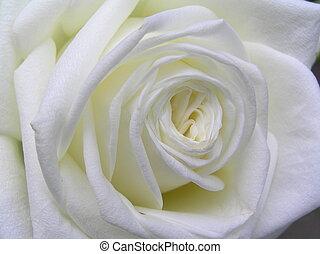macro shot of a very bright white rose