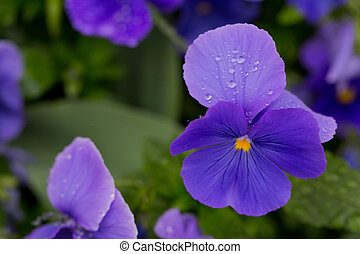 purple flowers with drops of dew