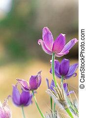 Purple pasque flowers on mountains