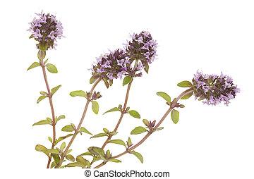 purple little thyme (Thymus pulegioides) on white background