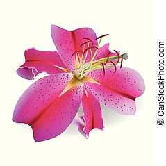 Realistic beautiful pink lily. Vector illustration