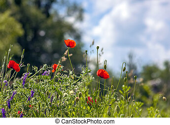 Red poppy flowers blurred background blue sky green grass