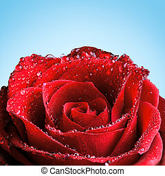 Red rose covered in dew in front of a blue background.