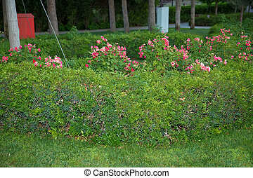 Rosa Gallica Officinalis Old Red Damask Rose . Pure Old Rose fragrance. Golden flowers in Green Park .