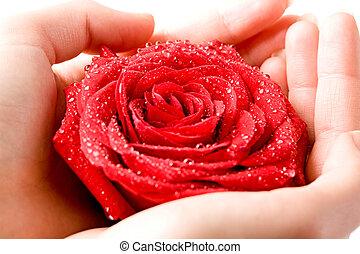 Rose in hands