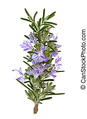 Rosemary herb leaf sprig in flower isolated over white background.