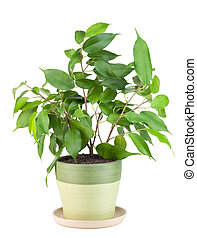 """Sprout of favourite indoor green decorative plant """"Ficus"""" isolated on white"""