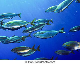 school of fish salema